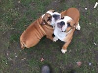 English Bulldog In Buckinghamshire Dogs Puppies For Sale Gumtree