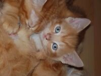 3 beautiful little boy ginger kittens ready now