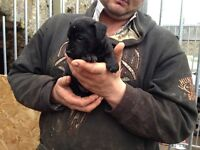 Paterdale pups 1 black 1 tan