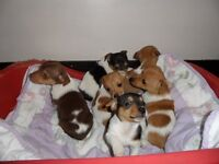 Beautiful Well Marked Jack Russell Puppies for sale.