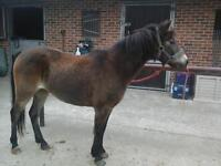 pony for share or loan