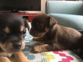 chihuahua puppies 2girls and 1 boy