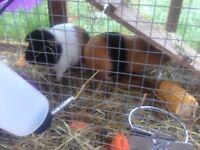 2 friendly guinea pigs