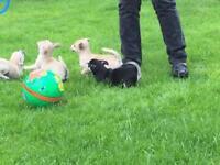 Pedigree chihuahua puppies SOLD