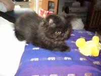 tiny chocolate persian male kitten