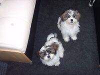 Zuchonn ( shih-zo x Bichon frise ) puppies male and female