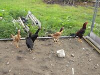 shamos chickens for sale