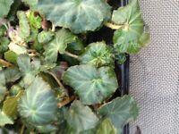 Begonia apricot shades 30 garden ready plants