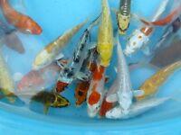 koi for sale high grade pond fish