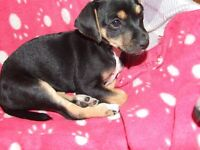 Jackrussell puppie