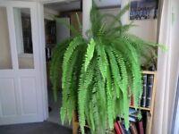 House Plants - Boston Fern