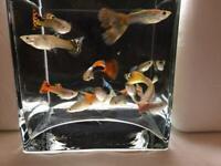 Guppies / Guppy Tropical Fish