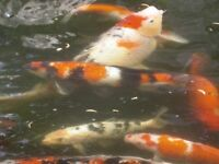 Japanese Koi / Complete set up for Sale