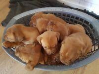 Bordeaux puppys