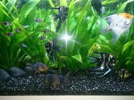 3 black angel fish