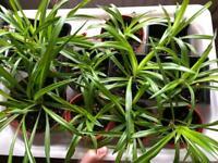 Spider Plants (indoor plants) for sale in 9cm pots
