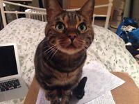 PLEASE HELP: Missing Bengal Cat in Balham