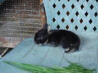 netherland rabbits