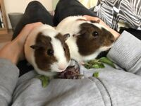 2x Female Guinea pigs - well matched. To be sold as a pair.