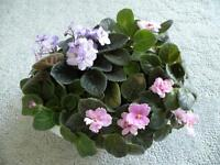 """African Violets in 12"""" Grey Oval Pot"""