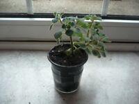 Succulent Plant in a Plastic Pot