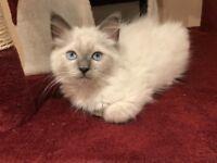 Ragdoll kitten GCCF bloodlines