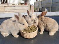 Netherland Dwarf mix baby bunnies