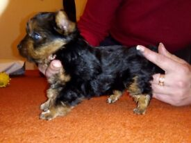 Yorhshire Terrier mini puppy for sale