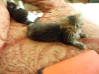 Kitten Long Haired Dark Tabby Boy 9 Weeks Old Adorable