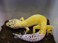 Beautiful female leopard gecko with vivarium - free to good home