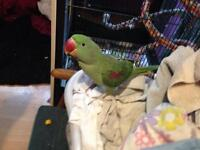 Alexandrine parrot and cage