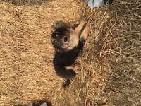 12 week old boy blue merle x border collie puppy