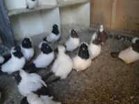 Nun birds
