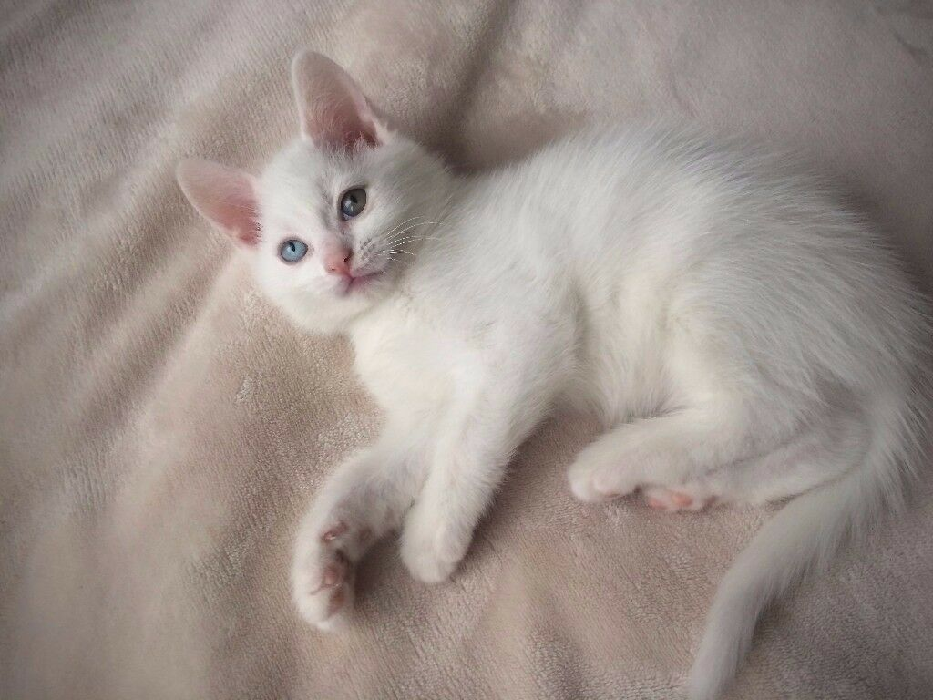 Cute kittens for sale male turkish angoras