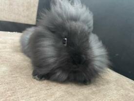 8 week Lionhead Male Baby Rabbit - £90