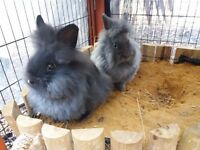 Pure Lionhead rabbits for sale