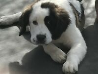 St. Bernard bitch for sale