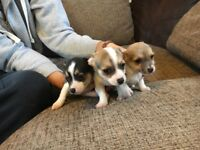 Puppys Chihuahua x only one left