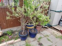 Beautiful Olive Trees x2 in heavy ceramic blue pots, bargain at £150 for both!