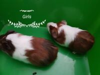 Smooth haired baby guinea pig girls
