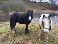 Horse cobs