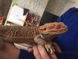 Stunning Gorgeous markings Bearded dragon and tank
