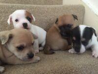 Jack chi puppys