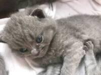 Blue British short hair kittens