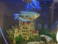 Opaline gourami fish x 3