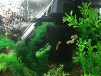 Snake skin guppies for sale