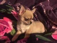 REDUCED!!! Kc registered Smooth Coat Chihuahua pups
