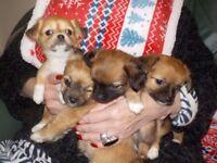 Chi Chi x Chihuahua puppies