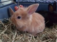 1 female tan mini dutch cross lion head