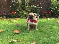 Female Fawn Pug 6 Months Old Puppy